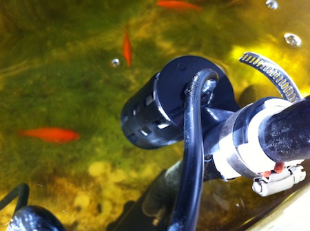 Goldfish swimming around pump cutoff float valve